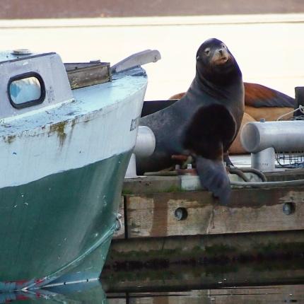 a sea lions 010cr-lze