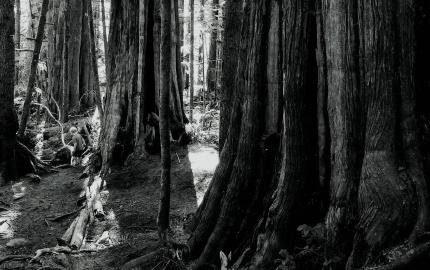 TREE [FL] (1)cr